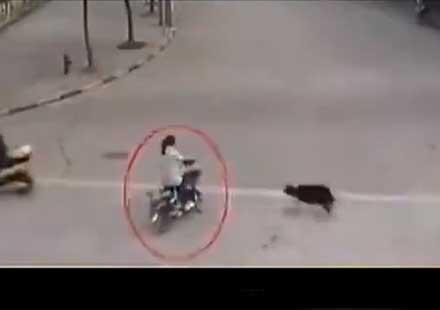 Уникално: Улично куче пребива момиче на мотоциклет (видео)